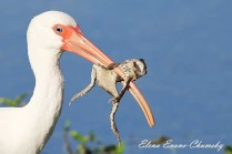 White Ibis and frog lunch captured by my daughter