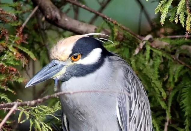 the rare Yellow Crowned Night Heron